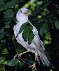 albino-(3).jpg