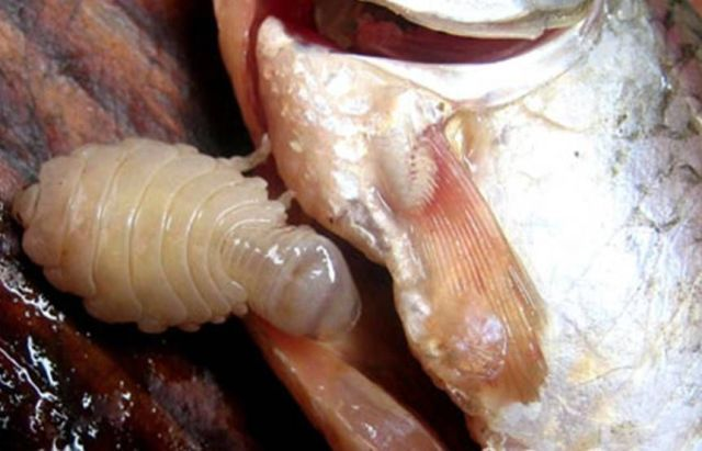 tongue-eating-louse14.jpg